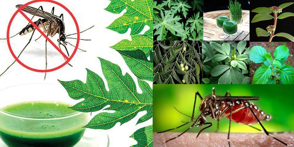 herbal-remedies-for-chikungunya-fever