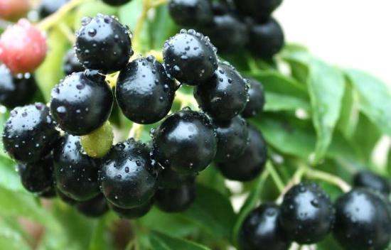 Health benefits of jamun