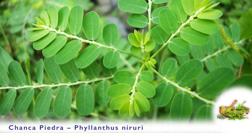 Chanca Piedra or Phyllanthus Niruri