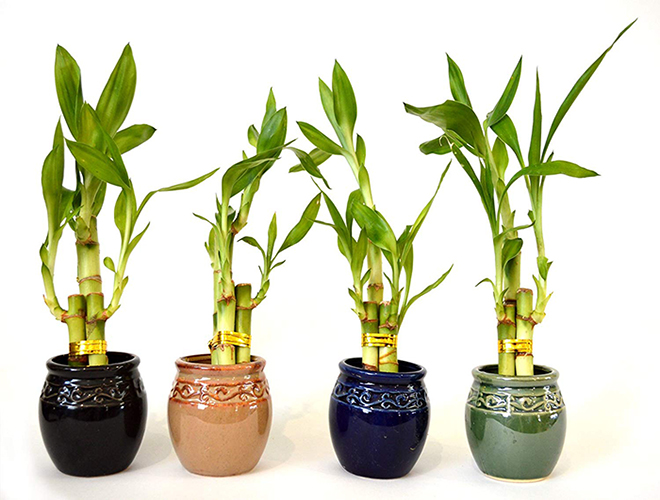 Importance of bamboo plant At Home