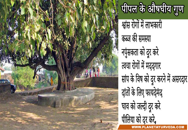 Health Benefits and medicinal uses of peepal tree