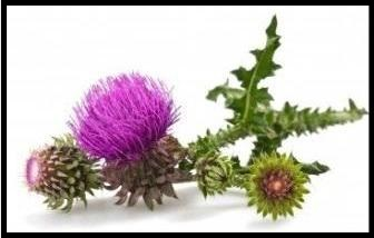 milk-thistle-seed-powder-organic